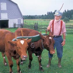 Farm & Home; Kermit Saxton and oxen