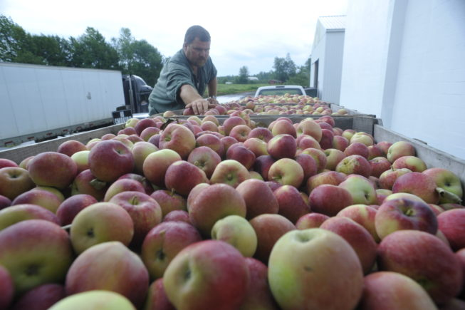 The apples are inspected and handled very carefully throughout the process to avoid damage. Forrence Orchards, Peru, NY, 2009.