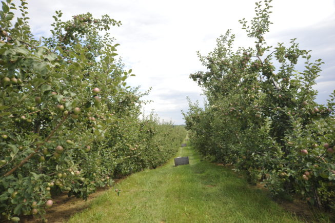 Crates placed throughout the orchard for harvesting. Forrence Orchards, Peru, NY, 2009.
