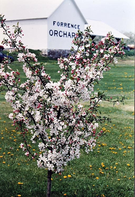 Spring apple blossoms at Forrence Orchards. Forrence Orchards, Peru, NY, date and photographer unknown.
