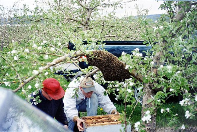 Working with the bees. Forrence Orchards, Peru, NY, date and photographer unknown.
