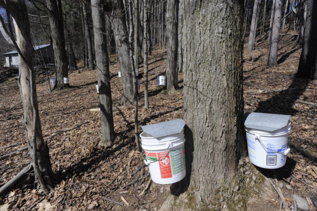 Traditional tap setup on maple trees at the Yancey Sugarbush in Croghan, NY, 2010.