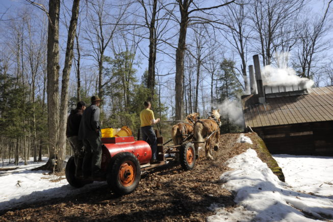 Going up the ramp to deliver sap to the boiling shed, 2010.