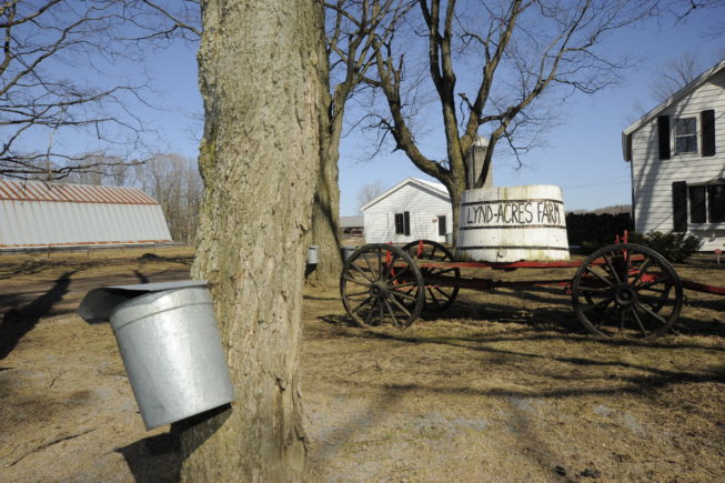 Tapping the trees around Lynd-Acres Farm, 2010.