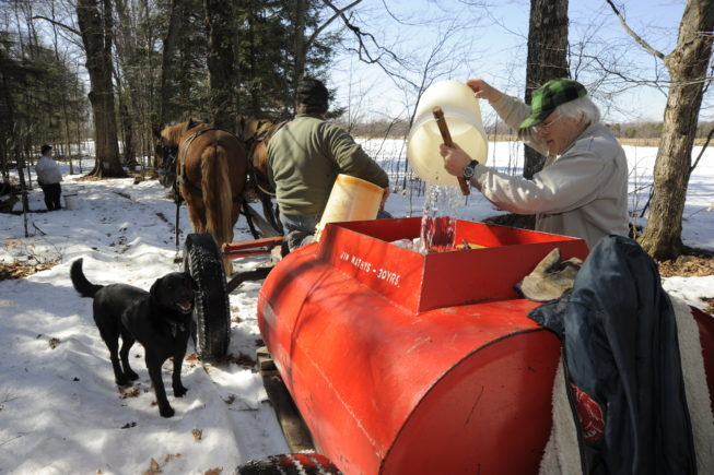 Collecting sap from the traditional taps and pouring it into the tank to bring back to the boiling shed, 2010.