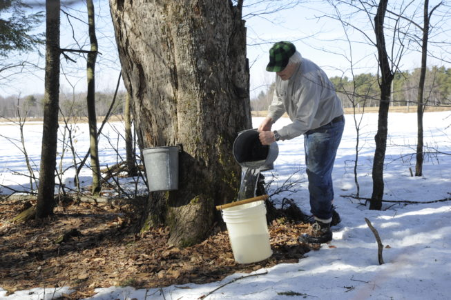 Collecting sap from the traditional taps, 2010. Over the years, the Yanceys have tapped thousands of trees on their own and family land, for instance at times tapping 6500 trees over 170-180 acres.