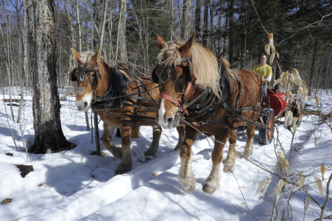 Gathering sap with the horses, 2010. Though on a visit in 2021 they'd incoporated tubing into more of their operation, the Yanceys have resisted pressures to convert entirely to the use of plastic tubing and vacuum pumps for gathering sap, and remain one of the few sugarbush operators who continue to gather with buckets and horse-drawn tanks.